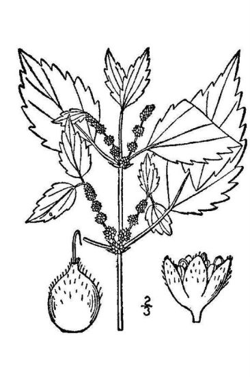 Boehmeria cylindrica,