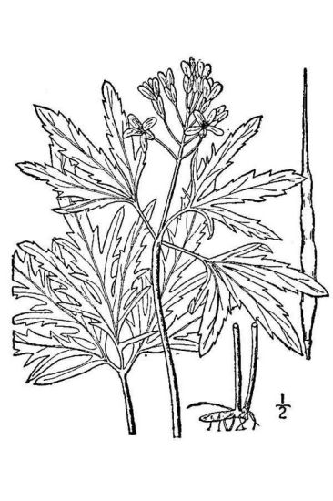 Cardamine concatenata,