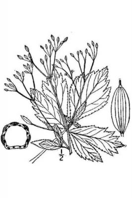 Cryptotaenia canadensis