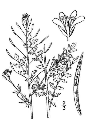 Descurainia incana ssp. incisa,