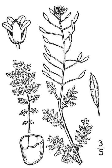 Descurainia pinnata ssp. pinnata,