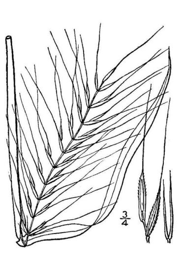 Elymus hystrix var. hystrix,