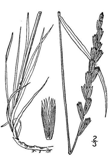 Elymus x pseudorepens,