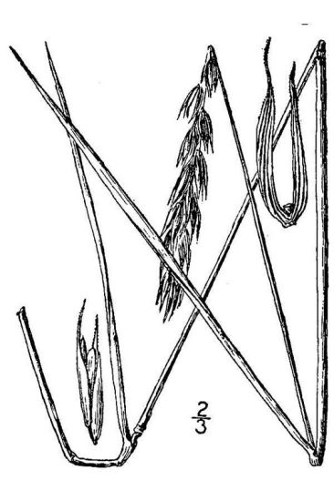 Elymus submuticus,