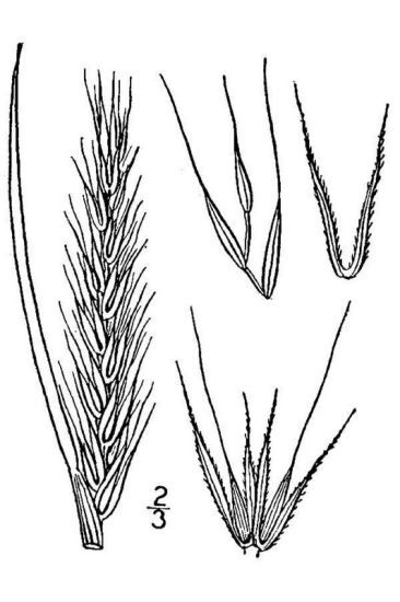 Elymus virginicus,
