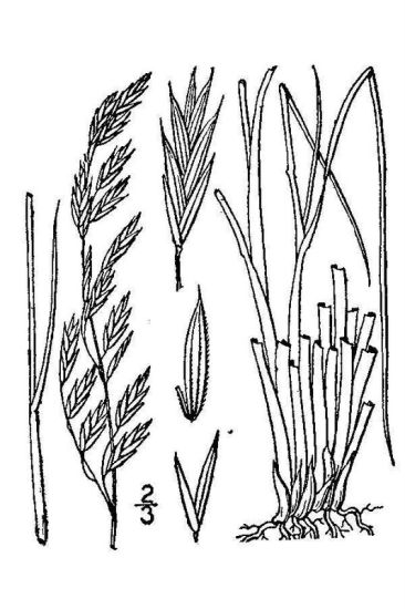 Festuca altaica,