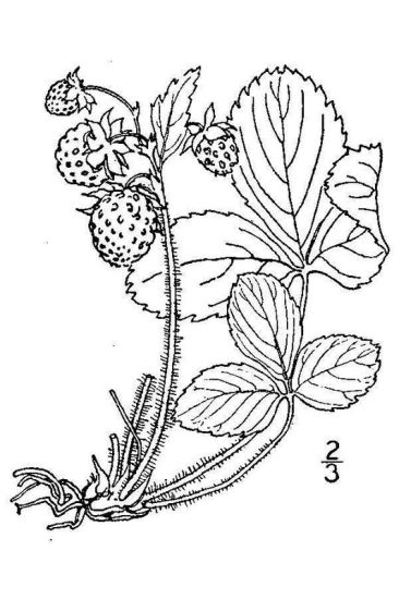 Fragaria virginiana ssp. grayana,