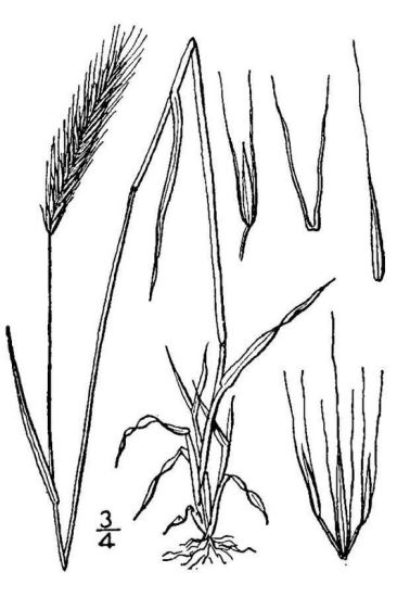 Hordeum brachyantherum ssp. brachyantherum,