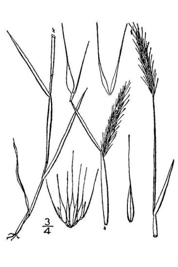 Hordeum pusillum,