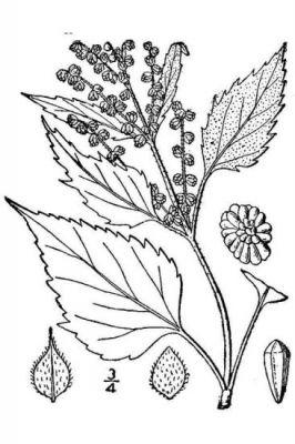Cyclachaena xanthifolia