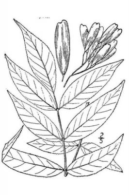 Fraxinus nigra