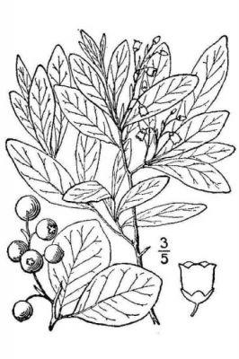 Gaylussacia frondosa