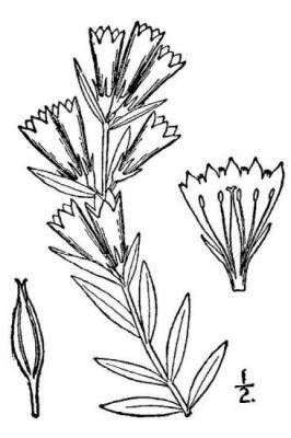 Gentiana affinis