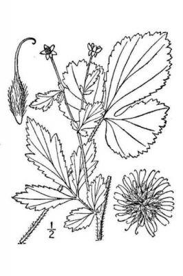 Geum virginianum