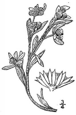 Gnaphalium palustre