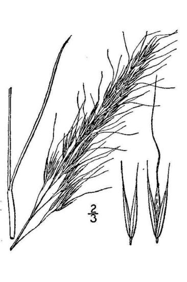 Nassella viridula,
