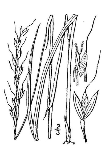 Oryzopsis asperifolia,