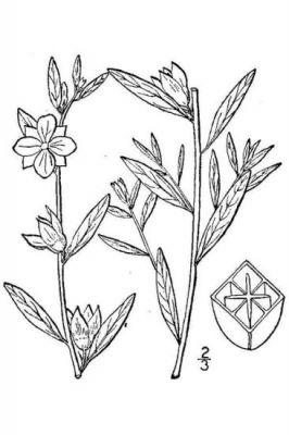 Ludwigia alternifolia