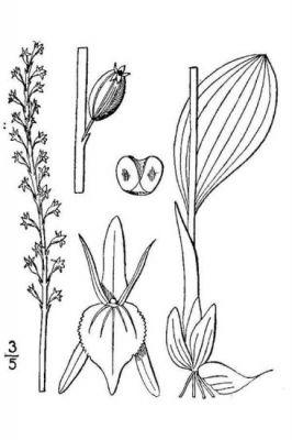 Malaxis brachypoda