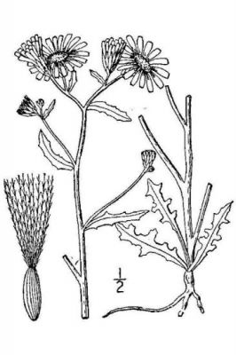 Malacothrix sonchoides
