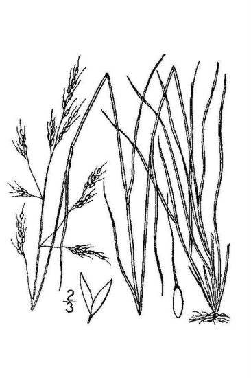 Piptatherum micranthum,
