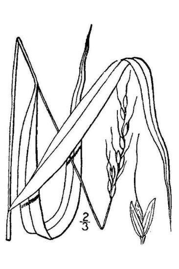 Piptatherum racemosum,
