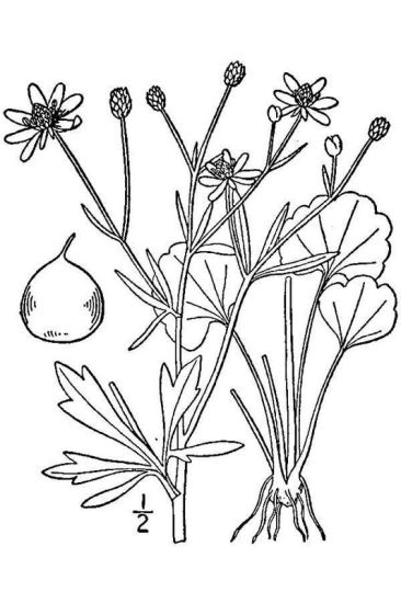 Ranunculus harveyi,