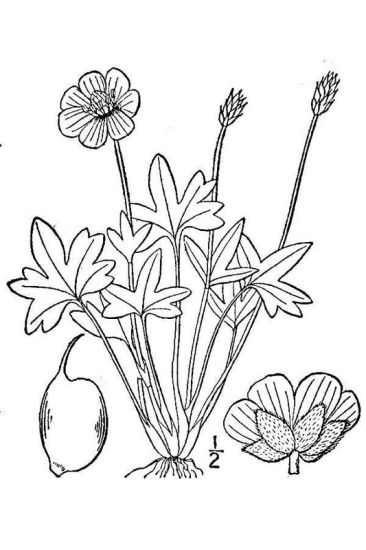 Ranunculus nivalis,