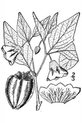 Physalis virginiana -