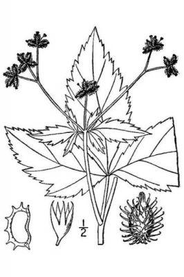 Sanicula trifoliata