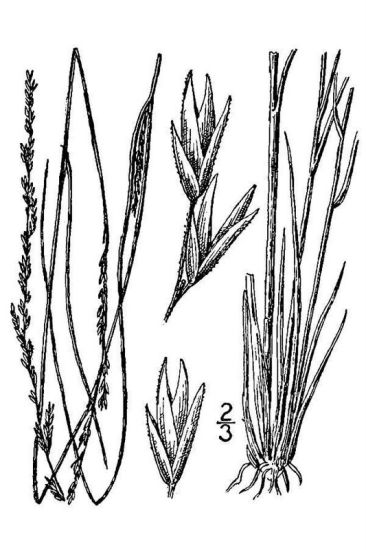 Sporobolus compositus var. drummondii,