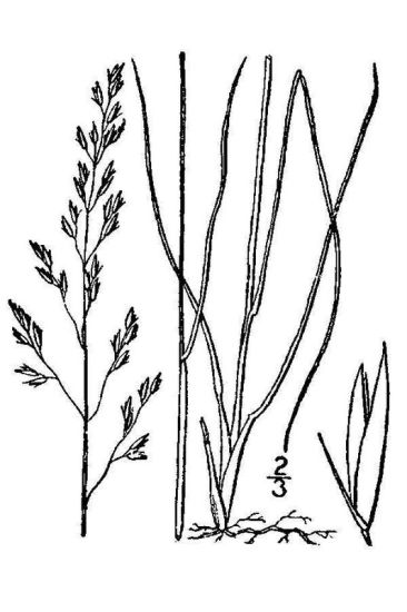 Sporobolus heterolepis,