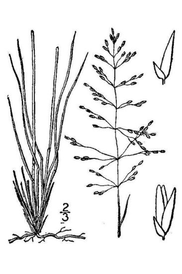 Sporobolus junceus,