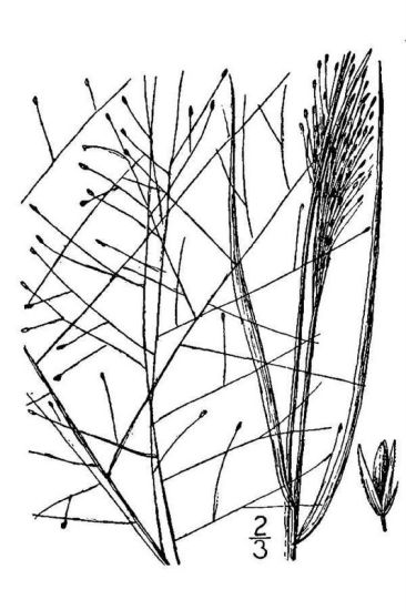 Sporobolus texanus,