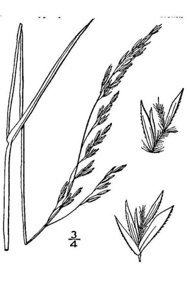 Trisetum melicoides,