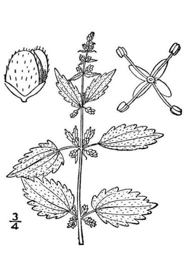 Urtica chamaedryoides,