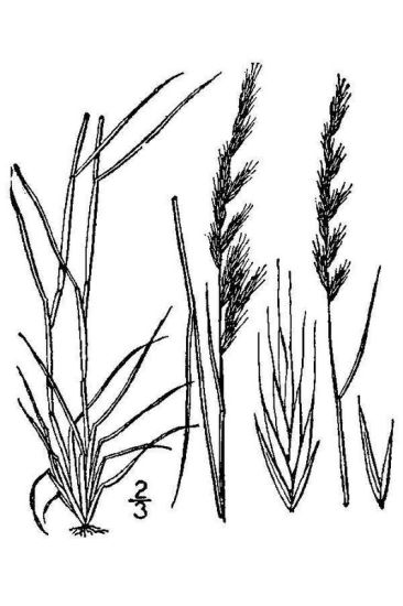 Vulpia octoflora var. octoflora,
