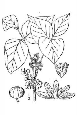 Toxicodendron radicans -