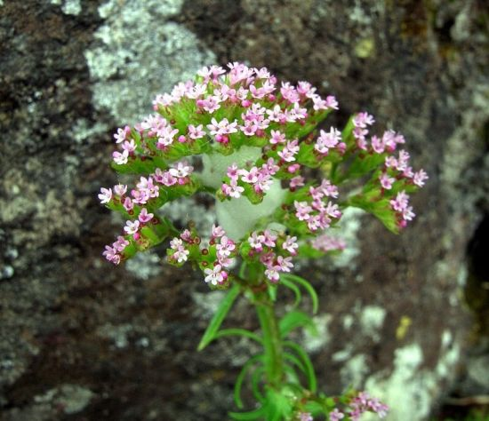 Centranthus calcitrapae (L.) Dufr.