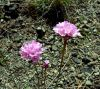 Armeria denticulata - Credit: Photo by Brunello Pierini