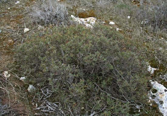 Sarcopoterium spinosum,