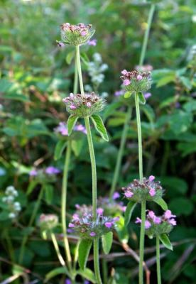 Clinopodium vulgare -