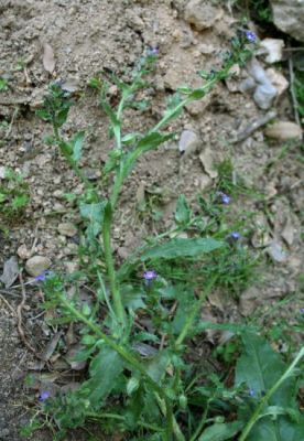 Anchusa formosa -