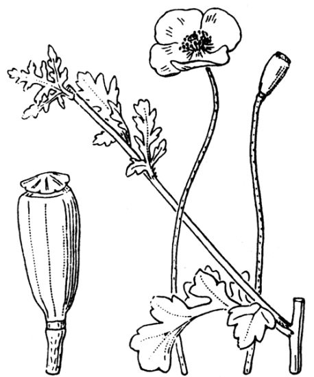 Papaver dubium subsp. dubium,
