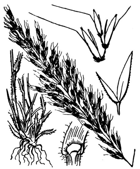 Trisetum flavescens,