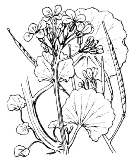 Cardamine asarifolia,