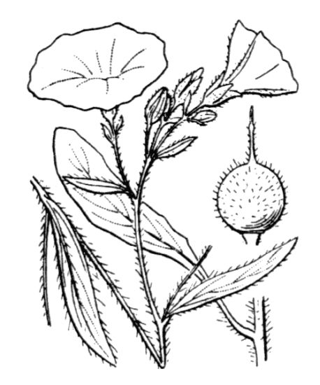 Convolvulus cantabrica,