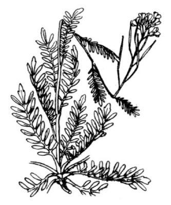 Cardamine parviflora - Specie della flora italiana