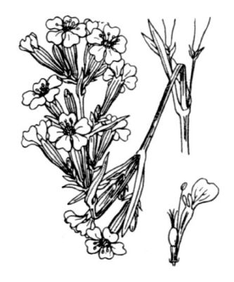 Silene viscaria subsp. viscaria