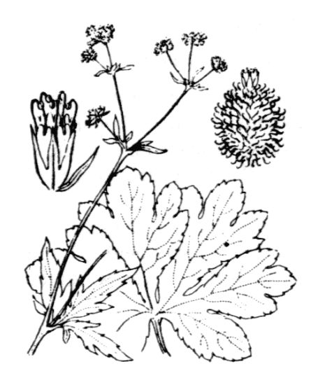Sanicula europaea,